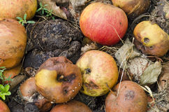 Foul windfall of apples Stock Image
