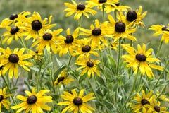 Foule de Coneflowers jaune photos libres de droits