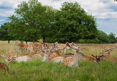 Foule des cerfs communs Photos libres de droits