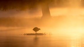 Foulque maroule au lever de soleil