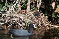 Foulque maroule de nid photos libres de droits