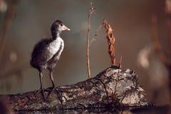 Foulque maroule eurasienne de jeune poussin - l'atra de Fulica, se tient sur le bois près de la scène de faune de nid de la Ré photographie stock libre de droits
