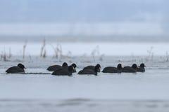 Foulque maroule eurasienne en hiver Photo libre de droits
