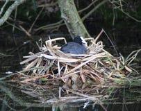Foulque maroule eurasienne sur le nid photos stock