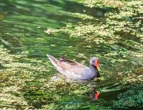 Foulque maroule (Fulica) sur un lac Image stock