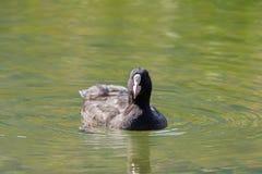 Foulque maroule, oiseau d'eau avec le plumage noir, swimmi frontal blanc de bouclier photo stock