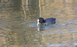 Foulque maroule sur la consommation de lac Images libres de droits