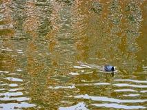 Foulques maroules de chanson d'oiseau d'appel d'oiseau de foulque maroule image stock