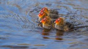 Foulques maroules nouveau-nées explorant l'étang Photo libre de droits