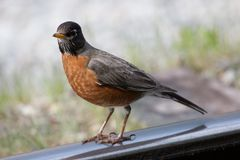 American Robin in Alaska royalty free stock photo