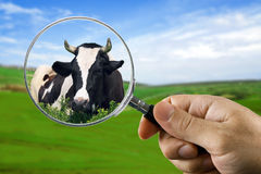Found a cow. Rustic life Royalty Free Stock Photography