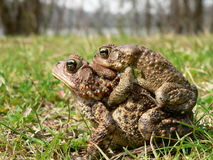 Found Love (2). American Toad Royalty Free Stock Images