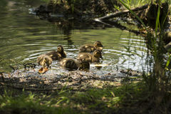 Found lunch. These baby mallard ducks are chewing on dead leaves Royalty Free Stock Photos
