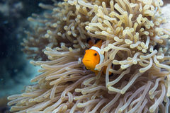Found Nemo. A clownfish peeks out from an anemone Stock Images
