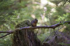 Douglas Squirrel in the Olympic Wilderness, Olympic National Park, Washington stock images
