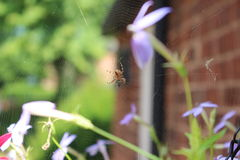 Found this spider amazing. Spider in its web Royalty Free Stock Images