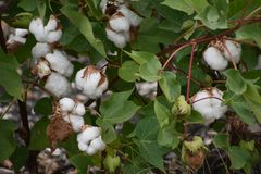 Texas Cotton. Found this in Texas while out for a drive. I found it interesting royalty free stock photography