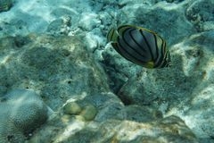 Scrawled butterflyfish Chaetodon meyeri royalty free stock photography