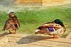 Fountain birds Vatican Royalty Free Stock Photography