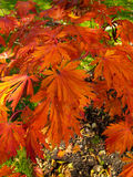 Fountain of bright orange autumn leaves Stock Images