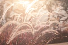 Fountain or Feather grass close up. Soft vintage tone Stock Photography
