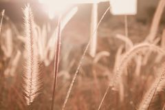 Fountain or Feather grass close up. Soft vintage tone Stock Photos