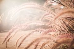 Fountain or Feather grass close up. Soft vintage tone Stock Image