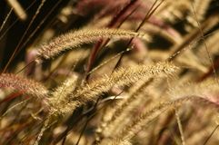 Fountain Grass Stock Photography