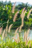 Fountain grass Stock Image