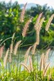 Fountain grass Stock Image