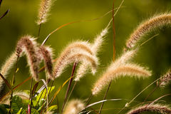 Fountain Grass Stock Photos