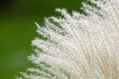 Fountain Grass Background royalty free stock photography