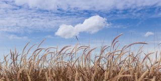 Fountain Grass Field. With beautiful cloud and sky Stock Image