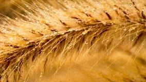Fountain Grass Flower Macro Stock Image