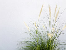 Fountain grass on grey wall background. Royalty Free Stock Photo