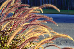 Fountain grass. Stock Images