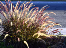 Fountain grass. Royalty Free Stock Image