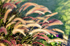 Fountain grass. Royalty Free Stock Images