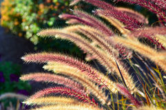 Fountain grass. Royalty Free Stock Photography