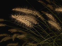 Fountain grass at night. Fountain grass ( pennisetum alopecuroides) at night Royalty Free Stock Images