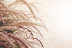 Free Fountain Grass Or Feather Grass Close Up Stock Photography - 75539412