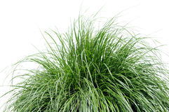 Fountain Grass Over White Royalty Free Stock Photography