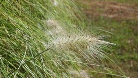 Fountain grass -pennisetum -in a field