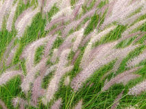 Fountain Grass, Pennisetum setaceum in the wind Royalty Free Stock Photo