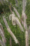 Fountain grass in public decorative garden. Close up on nature background Royalty Free Stock Photos