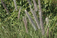 Fountain grass in public decorative garden. Close up on nature background Stock Images