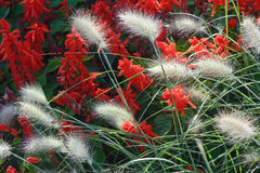 Fountain Grass Royalty Free Stock Images