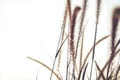 Free Fountain Or Feather Grass Close Up Soft Vintage Royalty Free Stock Images - 106009629