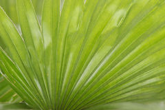 Fountain Palm Royalty Free Stock Photos