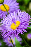 Fountain petals in the core of flower. Flower violet asters with fountain of the petals in the core Stock Images